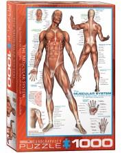 Puzzle Eurographics de 1000 piese - Sistem muscular -1